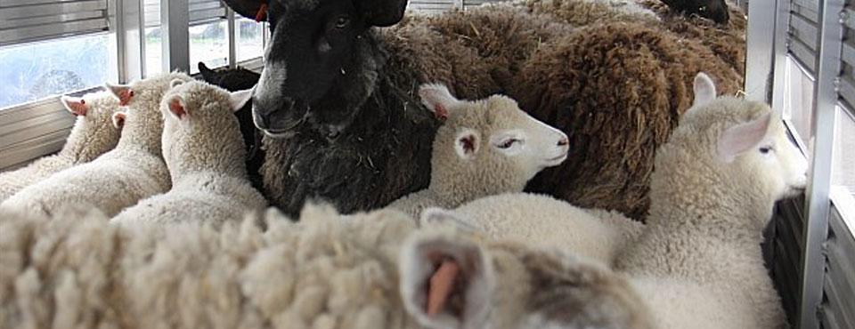 Sheep and Wool